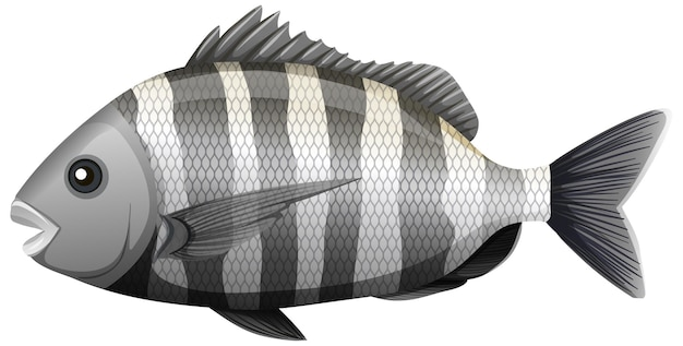 Sheepshead fish in cartoon style on white background