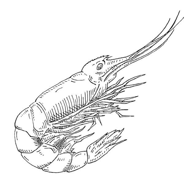 Креветки винтаж штриховки монохромный вектор черный иллюстрации изолированного на белом фоне