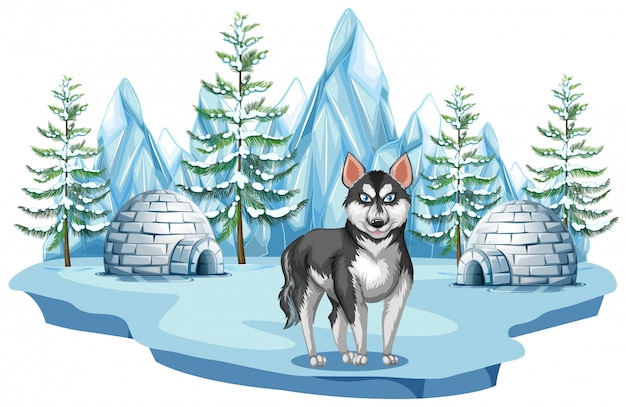 Siberian husky dog in arctic