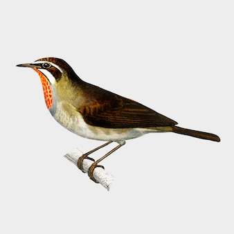 Siberian rubythroat (rubiette calliope) illustrated by charles dessalines d'orbigny (1806-1876).