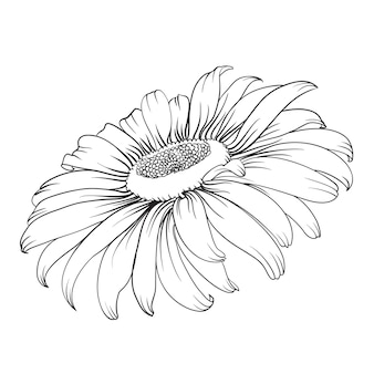 Silhouette of chamomile isolated over white.