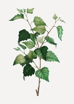 Silver birch plant