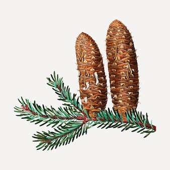 Silver fir and conifer cones