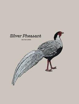 Silver pheasant (gallophasis nycthemerus)