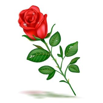 単一の美しい赤いバラ現実的な白い背景で隔離。開いた赤いバラ、愛、装飾要素のシンボルの現実的なイメージ。