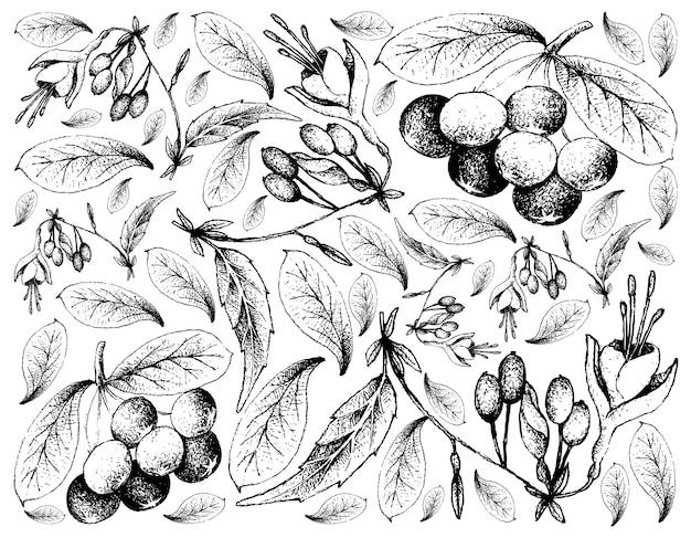 Skecth acai berries и brinco de princesa frutis
