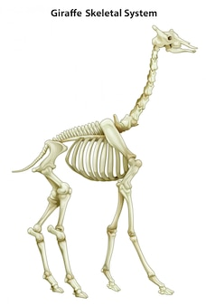 Skeletal system of a giraffe
