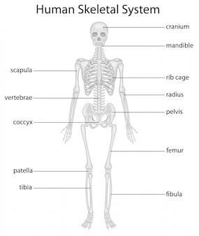 Система скелета