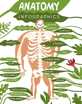 Skeleton anatomy infographics layout with human body image and detailed description of component