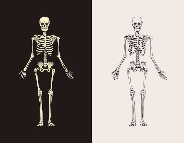 スケルトンシルエット人間生物学の解剖学イラスト古いスケッチとヴィンテージで描かれた手描き