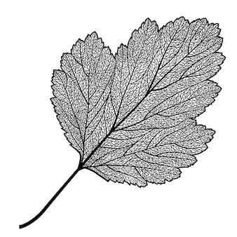 Скелетонизированный лист боярышника на белом фоне
