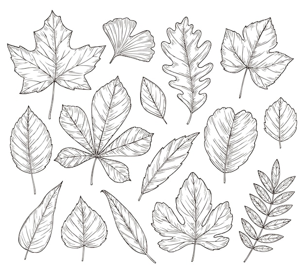 Sketch autumn leaves. fall leaf, hand drawn vintage foliage element. isolated forest maple oak rowan tree, botany nature vector illustration. season rowan leaf, foliage and floral natural sketch