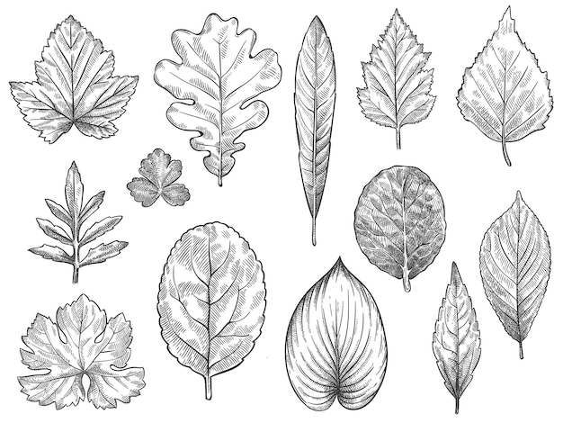 단풍을 스케치합니다. 손으로 그린 가을 단풍, 계절 광고, 초대 또는 섬유 벡터 세트를 위한 숲 잎 식물 요소. 새겨진된 자연 나무 잎 고립 된 그림