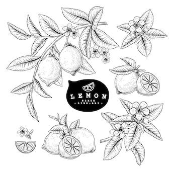 Эскиз цитрусовых декоративный набор. лимон. рисованной ботанические иллюстрации. черный и белый с линией искусством, изолированные на белом фоне. фруктовые рисунки. элементы в стиле ретро.