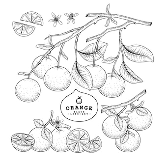 Эскиз цитрусовых декоративный набор. оранжевый. рисованной ботанические иллюстрации. черный и белый с линией искусством, изолированные на белом фоне. фруктовые рисунки. элементы в стиле ретро.