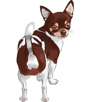 Sketch dog chihuahua breed smiling