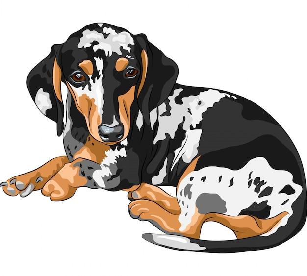 Sketch dog dachshund breed lying