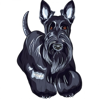 Sketch dog scottish terrier breed standing