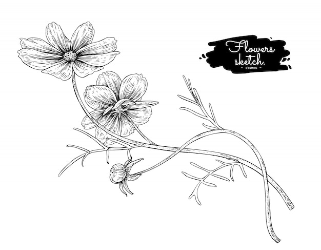Sketch floral botany collection, cosmos flower drawings.