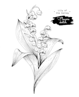 Sketch floral botany collection,  lily of the valley flower drawings.