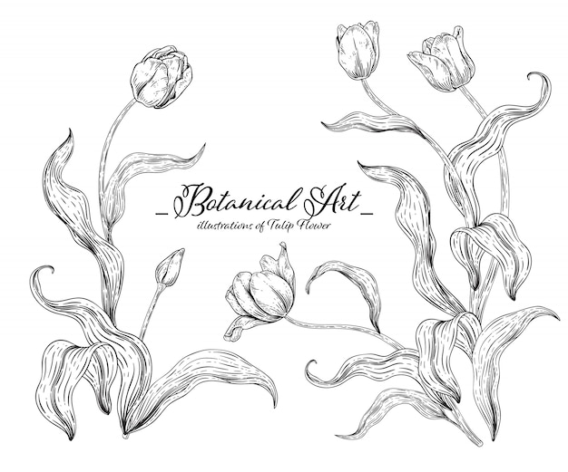 Sketch floral botany collection,  tulip flower drawings.