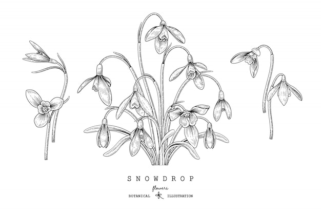 Sketch floral decorative set. snowdrop flower drawings