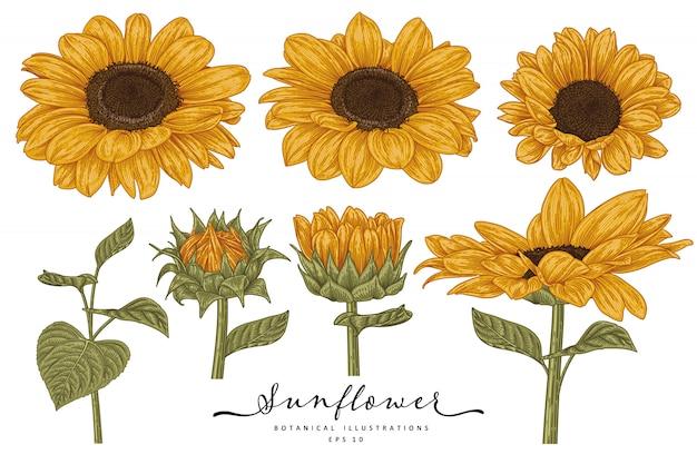 花の装飾セットをスケッチします。ひまわりの絵。白い背景で隔離の非常に詳細なラインアート。手描きの植物イラスト。要素。
