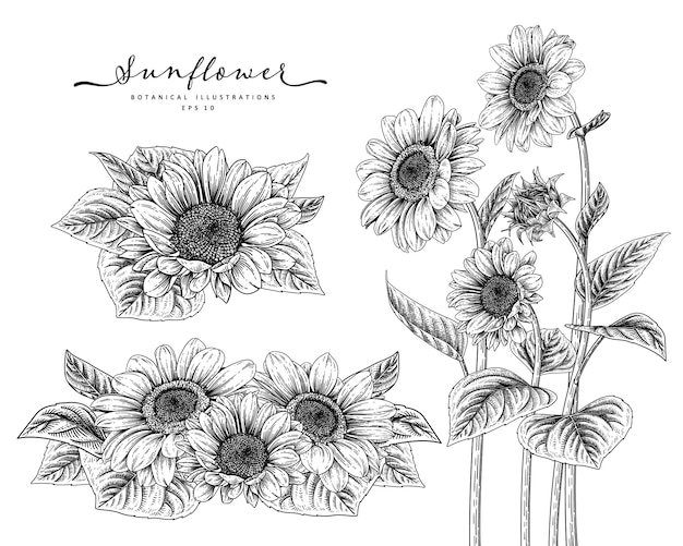 Sketch floral decorative set. sunflower drawings.