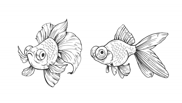 Sketch of gold fish. outline with transparent background. hand drawn illustration