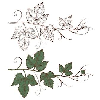 Эскиз виноградной лозы на белом фоне