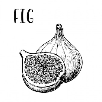 Sketch hand drawn fig