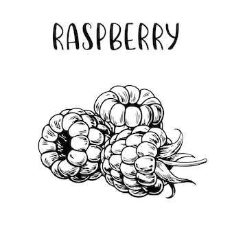 Sketch hand drawn raspberry