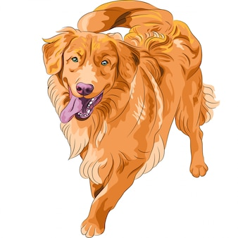 陽気な面白い犬種ノバスコシアダックトーリングをスケッチします。
