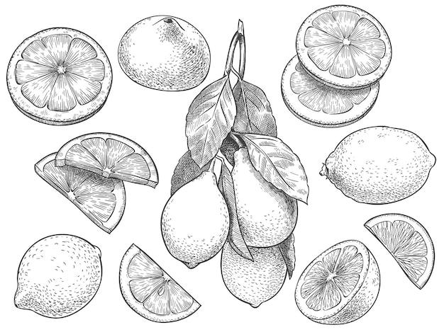 Набросок лимона. ручной обращается нарезанные лимоны, цитрусовые с листьями и половина лимона иллюстрации.