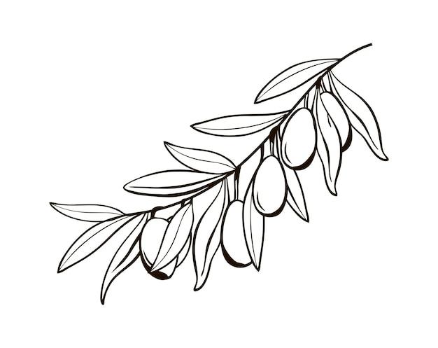 열매와 고립 된 올리브 가지의 스케치 이탈리아의 상징의 흑백 드로잉