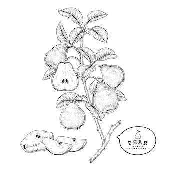 Эскиз груша декоративный набор. рисованной ботанические иллюстрации. черный и белый с линией искусством, изолированные на белом фоне. фруктовые рисунки. элементы в стиле ретро.