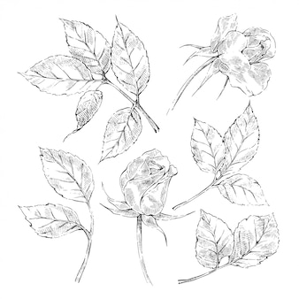 Sketch roses collection