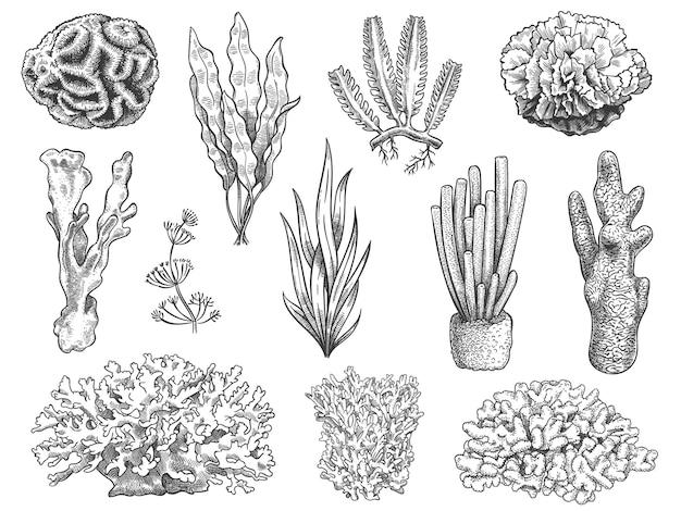 스케치 해초. 바다 암초 산호와 수생 식물, 조류. 수중 생활 잡초. 해양 식물, 화장품 손으로 그린 새겨진 벡터 세트. 그림 산호초, 물 바다 수중 식물
