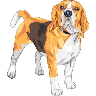 Sketch serious dog beagle breed