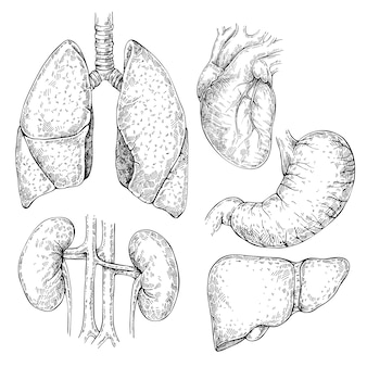 Эскиз набор различных человеческих органов: сердца, почек, желудка, печени, легких. изолированный набор внутренних органов