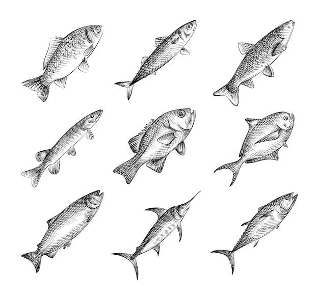 手描きの魚のスケッチセット。さまざまな種類の魚-マグロ、サーモン、アサリ、ホタテ、アワビ、ブリ、オヒョウ、イカ、砂肝、サバ、シーバス、ポーギー、スナッパー、針魚