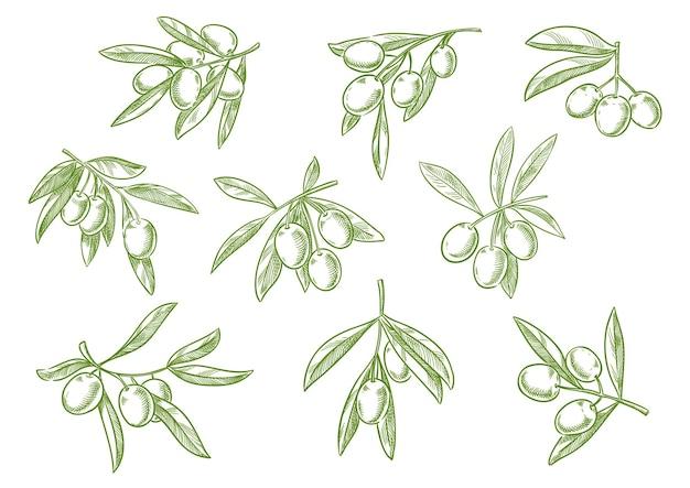 緑のオリーブの束のイラストとオリーブの木の枝のスケッチセット