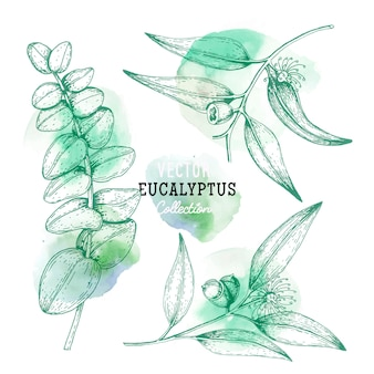 Sketches of eucalyptus plant, flower on a branch with leaves in engraving style eucalyptus set.