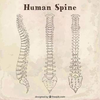 Sketches human spine