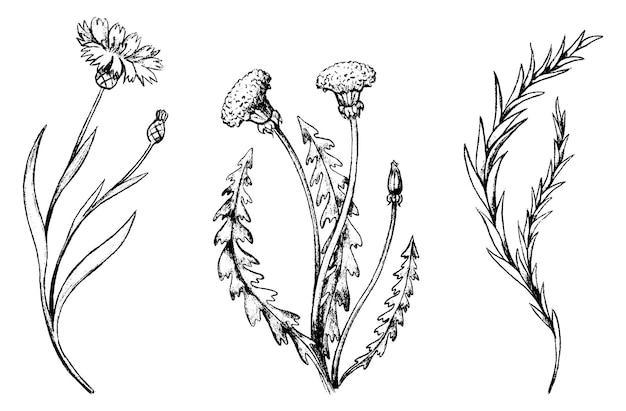 タンポポ、ローズマリー、ヤグルマギクのスケッチ。手描きのベクトルイラストのヴィンテージコレクション。フィールド植物、花のセット。白で隔離のモノクロ植物要素。