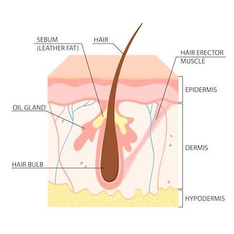 피부 구조, 모낭, 피부층. 벡터 일러스트 레이 션.
