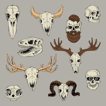Skulls boned head of animals of bull goat or sheep and human skull with beard for barbershop skeleton set
