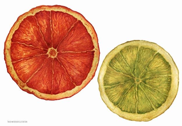 Дольки рождественских сушеных апельсинов, прорисованные акварелью