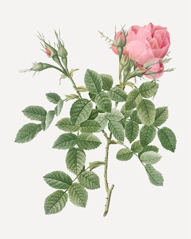 Small damask rose