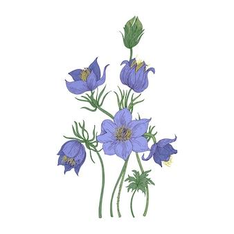 白い背景で隔離の小さなオキナグサの花。伝統医学や植物療法で使用される多年生の有毒な顕花植物の植物画。